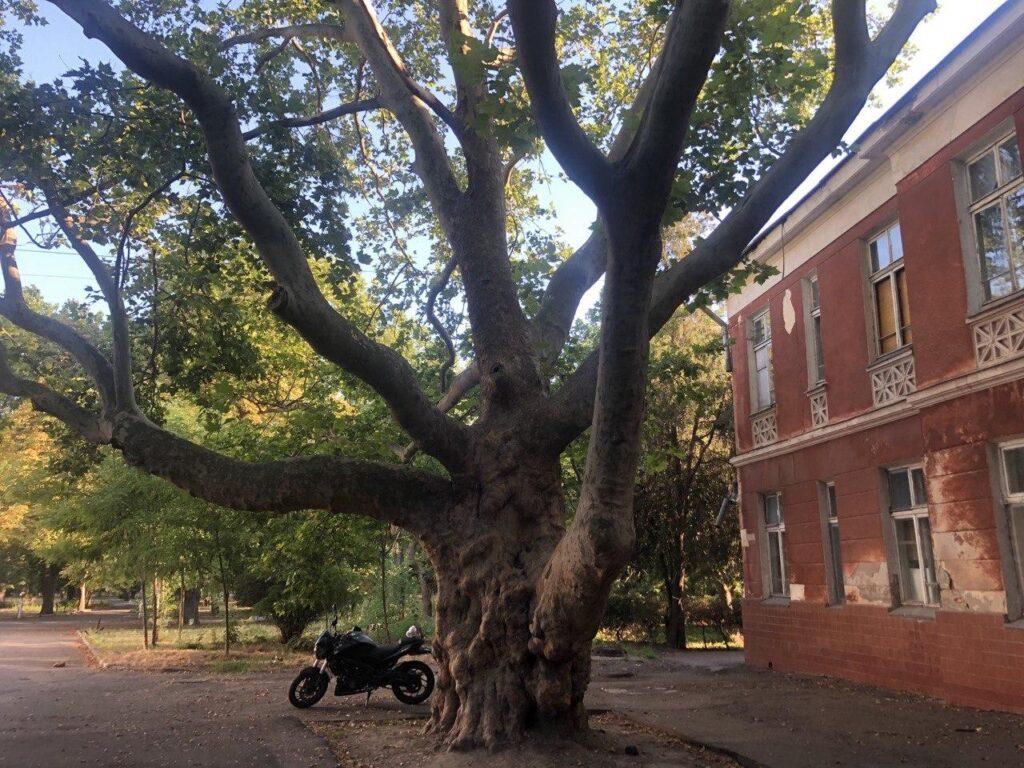 Велике дерево на території санаторія Чкалова